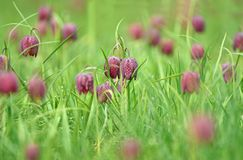 Snakes head fritillary flowers in a field Royalty Free Stock Photo