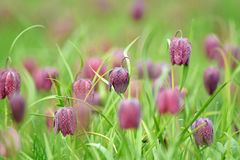 Snakes head fritillary flowers in a field Royalty Free Stock Image