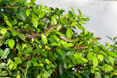 Snakes hide in tree foliage, Vietnam. Stock Images