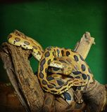 Snakes. This photo is of snakes world in katraj zoo pune Royalty Free Stock Photography