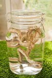 Snakes pickled in a jar. The tea is fairly attractive color light Stock Photography