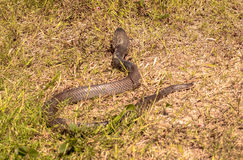 Snakes slither in the grass Royalty Free Stock Images