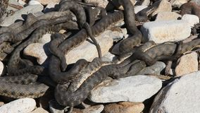 Snakes starts in the spring mating season. stock footage