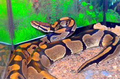 Snakes Royalty Free Stock Image