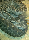Snakes. Two horned rattlesnakes curled up together royalty free stock photos