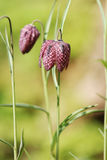 Snakeshead fritillary wild flower. Snakeshead fritillary have unusual chequered petals of red or purple and white and are wild flowers which grow in wild flower Stock Photography