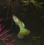 Snakeskin眼镜蛇色彩艳丽的胎生小鱼 库存照片