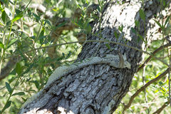 Snakeskin в дереве Стоковые Изображения