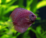 Snakeskin Discus Fish Stock Image