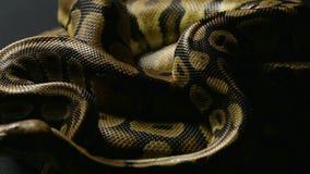 Snakeskin dwa balowego pytonu w cieniu zdjęcie wideo
