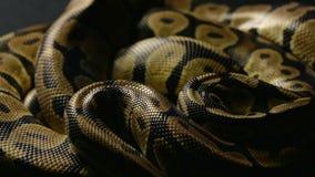 Snakeskin królewski pyton w cieniu zbiory