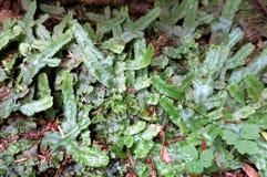 Snakeskin-Liverwort - Conocephalum-conicum Stockbild