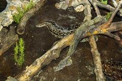 Snakeskin odmieniania wąż Fotografia Stock