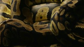Snakeskin ` s wzór pyton w cieniu zbiory wideo