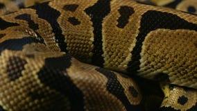 Snakeskin wzór balowy pyton zbiory wideo