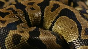 Snakeskin wzór królewski pyton zbiory