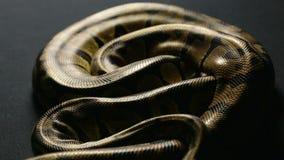 Snakeskin wzór królewski pyton w cieniu zbiory