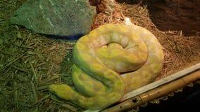 Snakey ta sig en tupplur Royaltyfria Foton