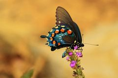 Snaking time... A lovely and beautiful Swallowtail Butterfly Stock Photos
