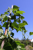 Snap Bean Vine. A vine of beans sown in the field Stock Photos