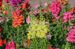 Snap dragon blooming in garden Stock Image