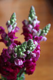 Snap dragons Royalty Free Stock Images