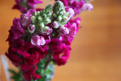 Snap dragons Stock Photography