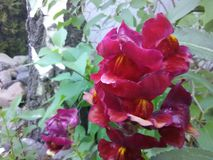 Snap dragons. Flowers blooming Stock Photo