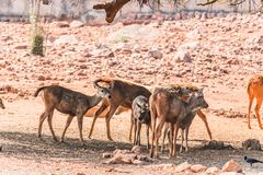 Close view of group of Thamin Deer standing under a tree shadow in a public park. stock photography
