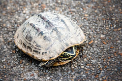 Snap fear turtle on the street Royalty Free Stock Photo