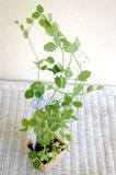Snap Pea Plant Royalty Free Stock Photography