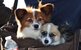 Be deeply attached to each other. A snap shot of two doggies packed into a messenger bag Stock Image