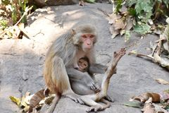 A awesome snap of monkey mother feed milk to her monkey kid in a big stone with care & love. Royalty Free Stock Photo