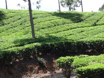 Close view tea garden with leaf. This snap is from tea ooty india. Awesome tourist place that you always love that is so awesome Royalty Free Stock Photos