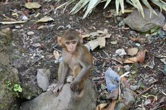 Awesome snap of small kid monkey that sitting on a stone & looking towards camera with curiosity. royalty free stock images