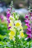 Snapdragon,毛地黄,美丽黄色的花 免版税库存图片