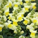 Snapdragon ή Antirrhinum. Κίτρινα λουλούδια Στοκ φωτογραφίες με δικαίωμα ελεύθερης χρήσης