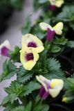 snapdragon Λουλούδι majus Antirrhinum Snapdragon για την πώληση, τις διακοσμήσεις ή το δώρο Λουλούδι Antirrhinum στο δοχείο flora Στοκ φωτογραφία με δικαίωμα ελεύθερης χρήσης
