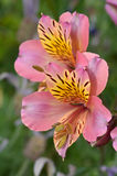 Snapdragon, λουλούδι Antirrhinum Στοκ εικόνα με δικαίωμα ελεύθερης χρήσης