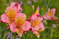 Snapdragon, λουλούδι Antirrhinum Στοκ φωτογραφία με δικαίωμα ελεύθερης χρήσης