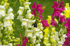 Snapdragon 02 Royalty Free Stock Photo