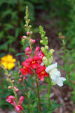 Snapdragon Stock Photography