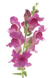 Snapdragon Stock Photo