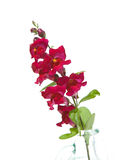 Snapdragon Royalty Free Stock Images