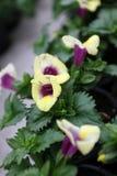 Snapdragon. Snapdragon Antirrhinum majus flower for sale, decorations or gift. Antirrhinum flower in pot. Floral pattern Royalty Free Stock Photo