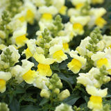 Snapdragon or Antirrhinum. Yellow flowers Royalty Free Stock Photos