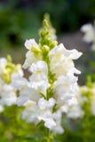 Snapdragon blomma Arkivbilder