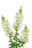 Snapdragon branco Imagens de Stock