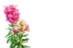 Snapdragon cor-de-rosa Fotos de Stock Royalty Free