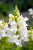 Snapdragon flower. View on a white a white snapdragon flower in a garden Stock Images